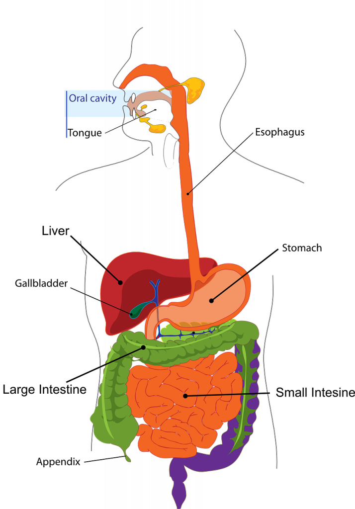digestion-303364_1280