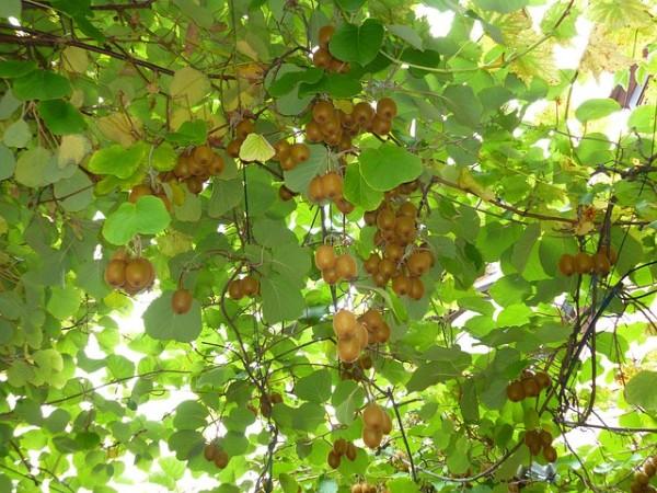 albero-kiwi-frutto-600x450