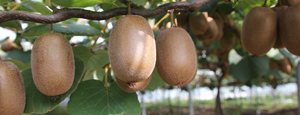 kiwi-italiani