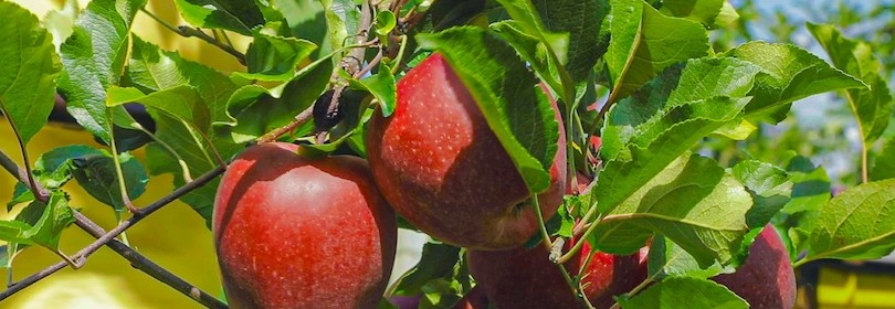 mele-gala-pianta-biologico-gullino